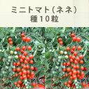 【入手困難!】ミニトマト『ネネ』の種10粒入り