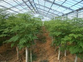 モリンガモリンガ粒奇跡の植物モリンガモリンガ100%!250粒(25g)