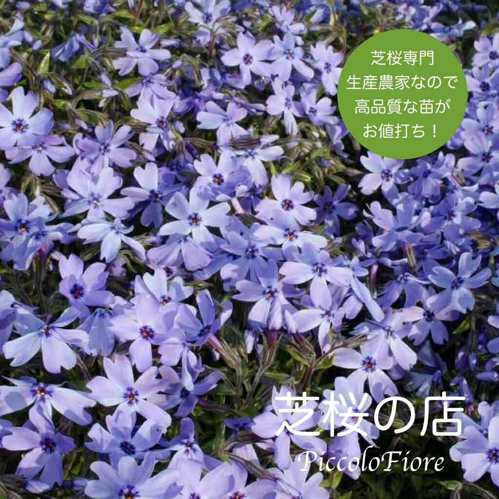 芝桜 オーキントンブルーアイ(青花) 1株 3号 9センチポット