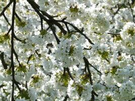 フレメクロスステッチ刺繍キット輸入Cherrybranch桜の枝HaandarbejdetsFremmeデンマーク北欧10BGB上級者30-3933