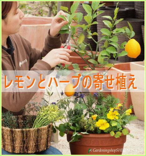 [自宅●プレゼントに・開店祝・新築祝・ギフトに最適]レモンとハーブ香りの寄せ植え