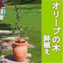 【送料無料】おしゃれな鉢オリーブ・オリーブの木の鉢植え(全体高:0.7m内外)(つぼ型テラコッタ鉢)