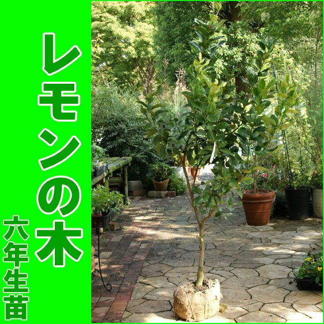 レモンの木(樹高:1.5m内外)