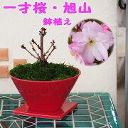 【赤鉢】かわいいジュリアンの鉢植え[クーポン対象商品]