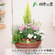 コニファーとマーガレットの寄せ植えテラコッタ鉢