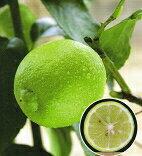 大人気果樹苗【販売開始】柑橘類ベルガモット(バロチン)2年生苗