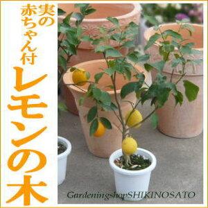【ラッピング・メッセージカード無料】【収穫を楽しむ】ポットのまま栽培OK!自分で育てて収穫...