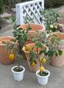 【送料無料】花は柑橘系の中で抜群にいい香りがする【レモンの木】2本セット