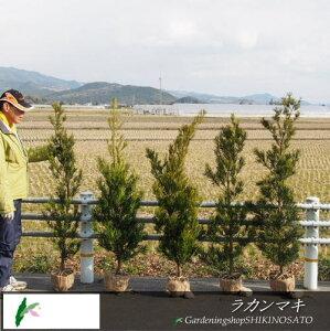 ラカンマキ 生垣セット(5本1セット)(樹高1.4m内外)