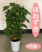 フウセンカズラ(風船蔓/ふうせんかずら)(樹高:焼く0.5m)