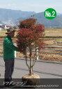 【送料無料】珍しい大型ドウダンツツジ (樹高:1.5m内外)No22020.10月撮影