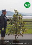 ロドレイア/ロドレイヤ(シャクナゲモドキ)(樹高:2.3m内外)