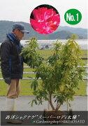 西洋シャクナゲ・しゃくなげ(石楠花)(品種:スーパーローディー)(樹高:1.4m内外)