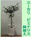 【珍しい品種】ユーカリ/ビミナリス(リボンガム)鉢植え(受皿付き)樹高:0.6m内外)2021.5月撮影