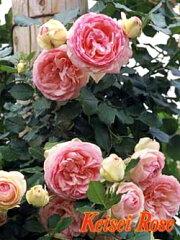 ピエール ドゥ ロンサール:Pierre de Ronsard[つるバラ系(CL),アンティークタッチのバラ]