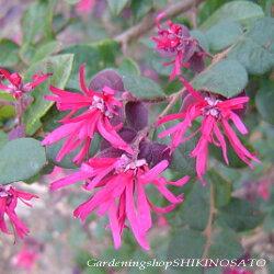 トキワマンサクの花