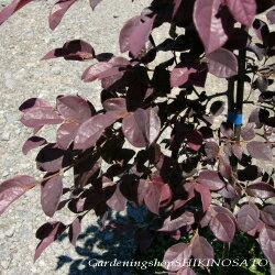 トキワマンサクの葉