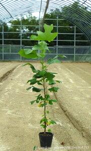 チューリップに似た花を咲かせますユリノキ (チューリップツリー)(樹高 1.0m内外)