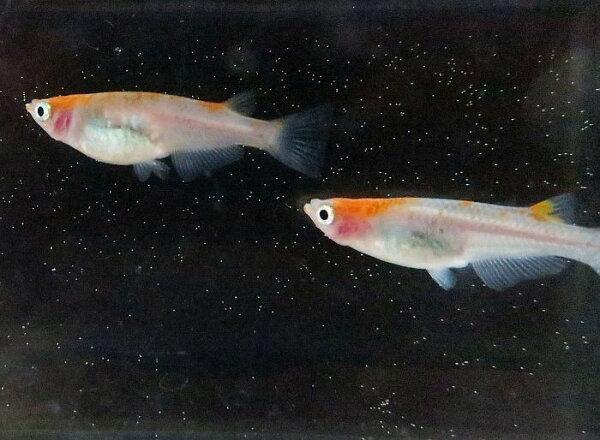 (メダカめだか)紅頭3匹(1ペア+1匹)セット 2色紅白高級生体種類淡水魚観賞魚観賞用アクアリウムペット飼育栃木県産販売