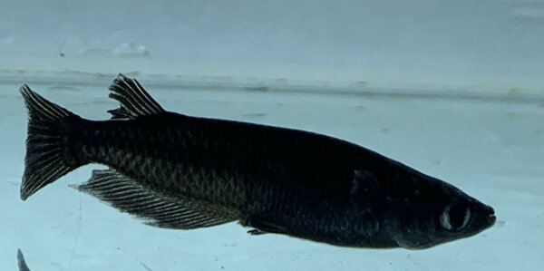 (メダカめだか)オロチ3cm-4cm5匹セット 黒種類淡水魚観賞魚観賞用アクアリウム千葉県産
