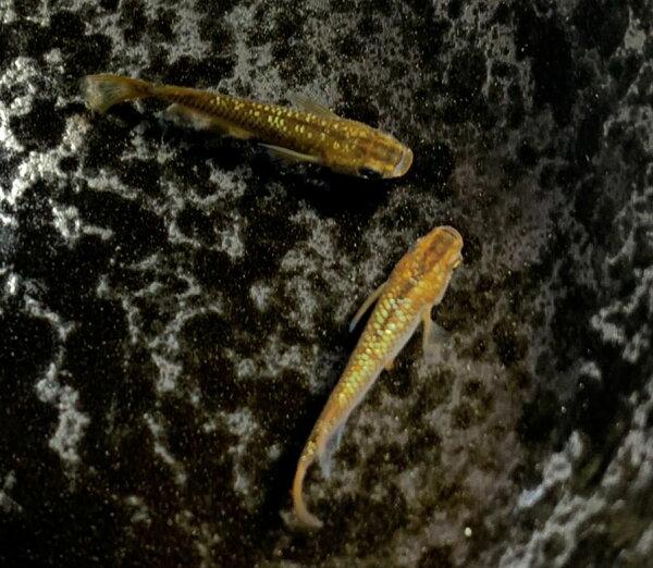 (メダカめだか)琥珀ラメレインボー3cm-4cm5匹ミユキ三色ラメペット琥珀黒高級変わり種類生体成魚淡水魚観賞魚観賞用アクアリウ