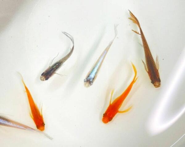 (メダカめだか)ヒレ長ミックス3匹ミックスヒレ長高級変わり種類生体成魚淡水魚観賞魚観賞用