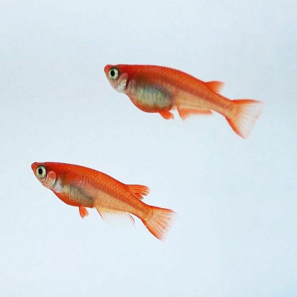 (メダカめだか)紅帝5匹セット赤レベル4紅帝メダカセット生体種類赤鮮やか淡水魚観賞魚観賞用アクアリウムペット飼育繁殖掛け合わせ販