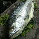 新巻鮭【北海道産】新巻鮭姿 1本 2.0kg前後【3本まで同梱可】 贈...