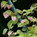果樹苗:ミヤママタタビ10.5cmポット・3.5号鉢雌木苗
