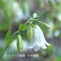 白花二重咲きホタルブクロ