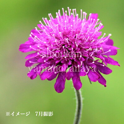 (1ポット)クナウティア マケドニカ 9cmポット苗 山野草/耐寒性多年草/西洋松虫草/スカビオサ