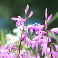 シラン(紫蘭)
