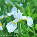 山野草:白花アヤメ(文目)10.5cmポット仮植え苗