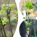 木の芽山菜苗セット