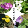 早春の山野草4種彩りセット