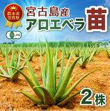 【栽培】アロエベラ 苗 沖縄 宮古島産 3株 有機 JAS