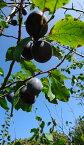 農薬不使用 化学肥料不使用 除草剤不使用 北海道夕張川の 生 プルーン 約2kg(ミックスサイズ1個平均70g前後)【ご家庭用多少のキズあり】ミラクルフルーツなどと呼ばれるほど栄養豊なフルーツです。(平年発送9/下旬頃〜10/中旬頃)