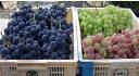 除草剤拒否、木材チップで除草ブドウに最適肥沃な粘土質で味と安全を極める本場甲州山梨市、丸山さんのブドウお任せ3種 約2kg(約3〜5房) 【発送 8月中旬 〜 10月上旬】