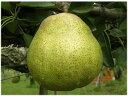 産地直送 洋梨 エコファーマー認定の低農薬、有機肥料、平棚・...