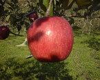 完熟の証明、ツル割れ、だからおいしいまるかじりできるリンゴ!津軽岩木山の麓でEM自然農法、徹底減農薬、無袋栽培 サンふじ(お徳用)10kg 【発送 11月中旬 〜 12月下旬】