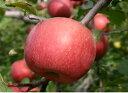 送料無料 産地直送 低農薬 有機栽肥料栽培 ご贈答用 りんご 特秀 ふじ 約10kg(約32〜36個)「夜間瀬の果物には勝てない」と果物王国長野では定評【発送時期:11月〜12月上旬まで】