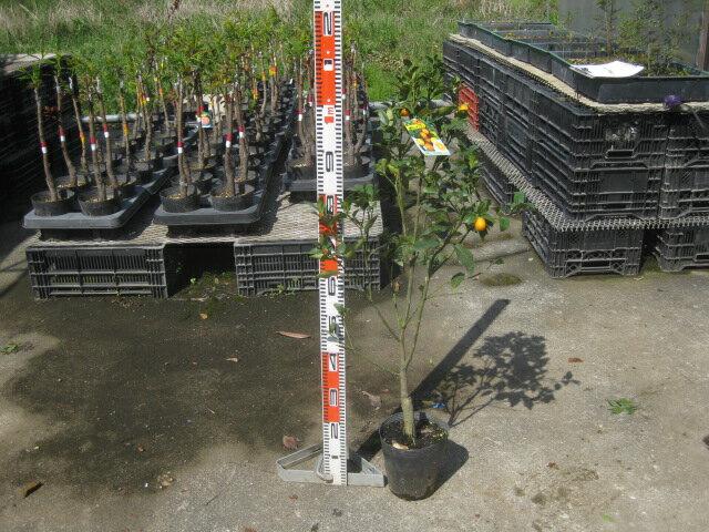 ガーデニング・農業, 植木  18cm
