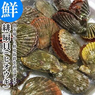 活きヒオウギ貝