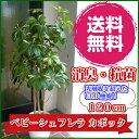 人工観葉植物 個別送料 造花 ベビーシェフレラポット(カポック) 12...