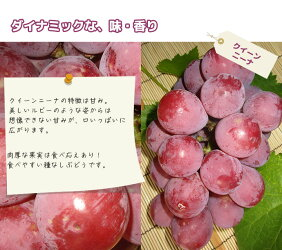 【送料無料】愛媛県内子町産ぶどう竹内巨峰園のぶどうのお祭り/粒