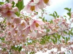 鈴のような花を付けます【6カ月枯れ保証】「紅花エゴノキ ピンクチャイム」 苗木 0.8m程度