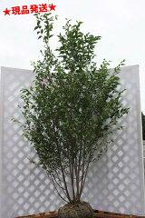 鈴のような花を付けます【現品発送】【6カ月枯れ保証】白花エゴノキ 株立1.7~2.1m程度(根鉢...
