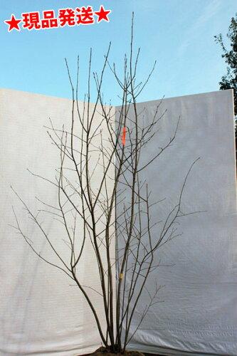 ジューンベリー 株立 1.9m-2.1m程度(根鉢含まず)
