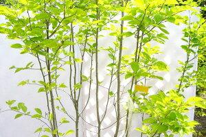 青い内皮【6カ月枯れ保証】「アオハダ」 苗木 0.3m程度