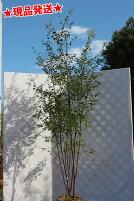 山取り天然木繊細な枝振りハイノキ